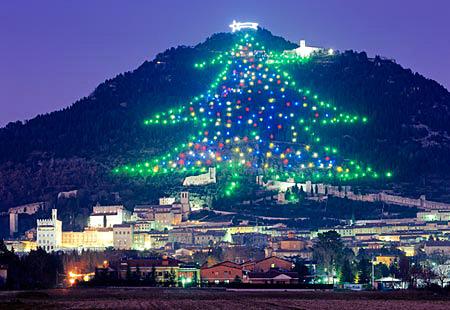 Enormous Fir Tree in Tarnovo city hill Bulgaria