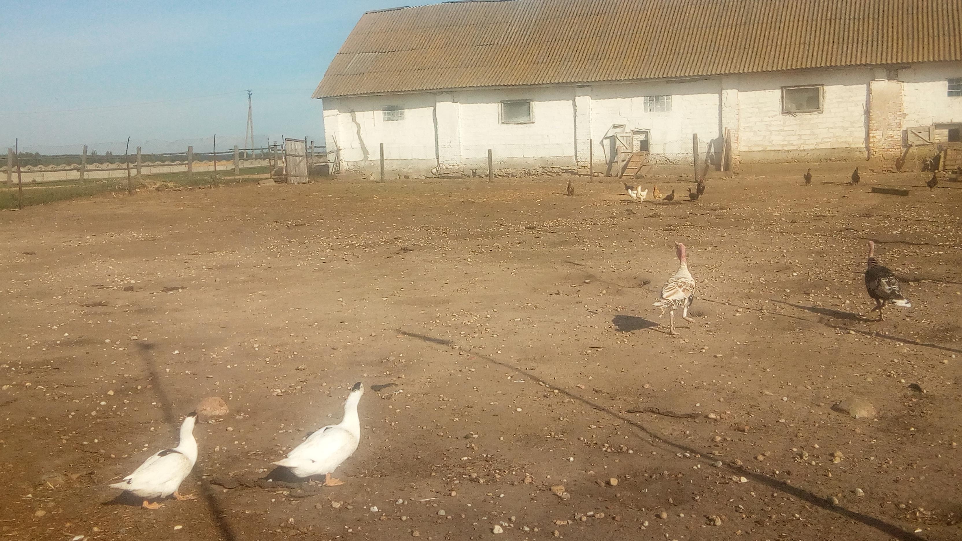 Zhyrovichi-farm-turkeys