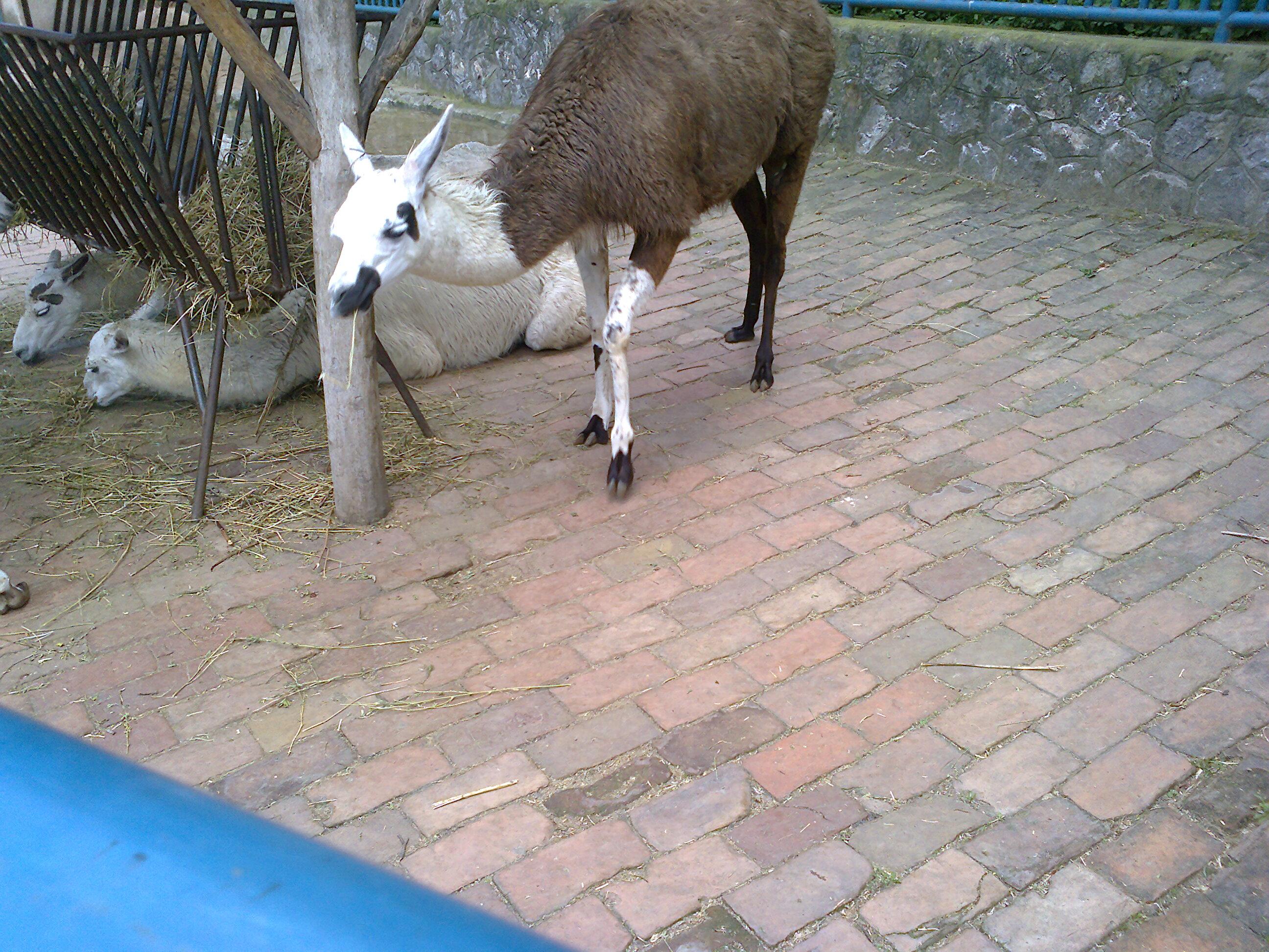 Beograd-National-Zoo-Lamma
